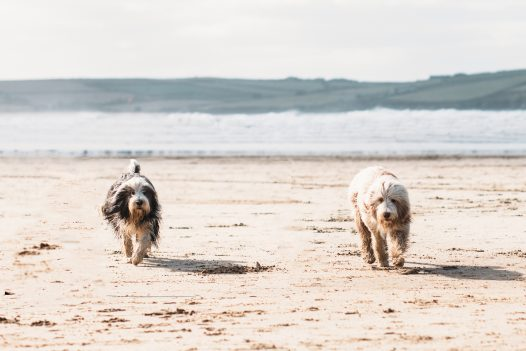 Dogs playing on Rock beach, North Cornwall
