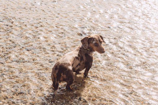 Dog on the beach, Rock, North Cornwall