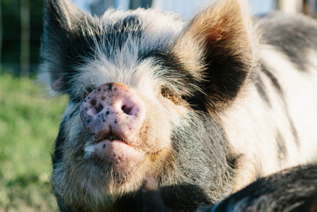 Pigs at Mesmear Farmhouse, a self-catering holiday home in Polzeath, North Cornwall