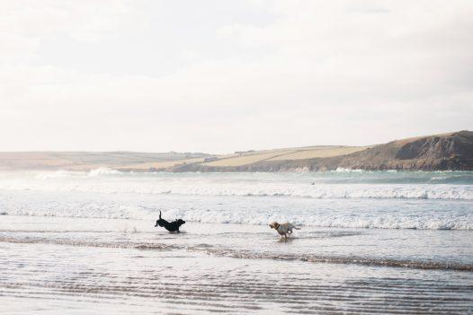 Dogs playing on Polzeath beach, North Cornwall