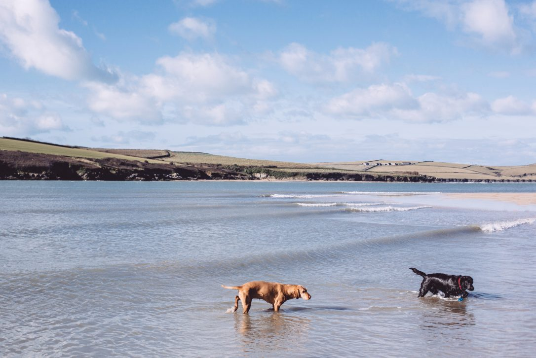 Dogs on Rock beach, Rock, North Cornwall