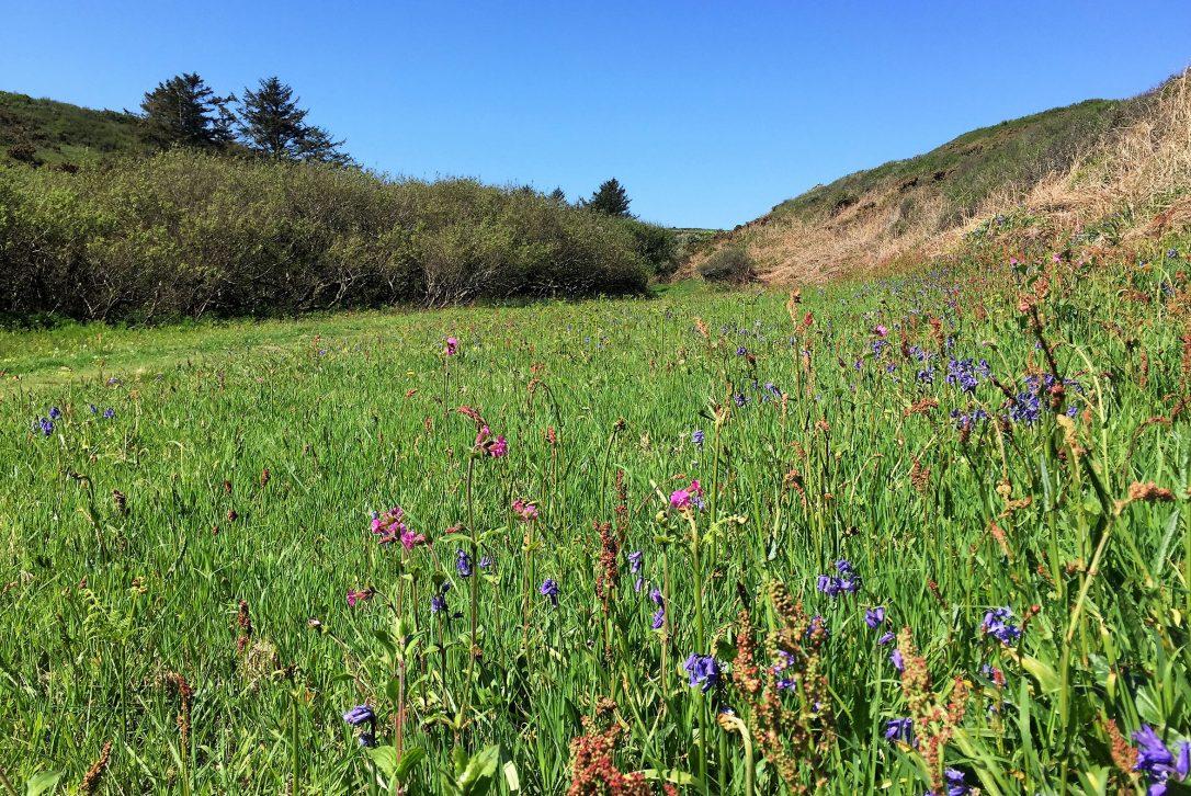 Wildflowers at Lundy Bay, near Polzeath, North Cornwall