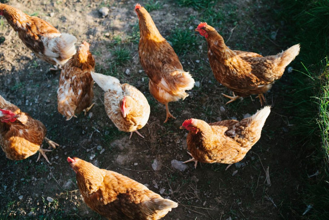 Chickens at Mesmear Farmhouse a self-catering holiday home in Polzeath, North Cornwall